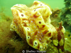 Nudibranch taken along reef in Altona (Melbourne). Very p... by Shelley Hooper 